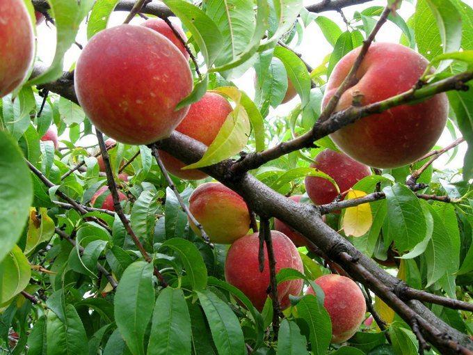 organic peaches arrival
