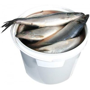 Whole herring in pail