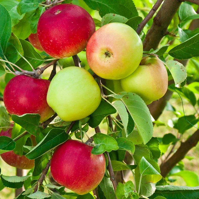 okanagan-apples-2020